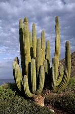 5 Seeds Pachycereus pringlei, Mexican Giant Cardon Gigante Elephant Cactus Nopal