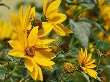 Helianthus maximiliani sunflower 500 seeds