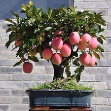 Organic Fuji Apple Bonsai 20 Seeds Super Sweet Eat Fresh Crispy Juicy Fruit Tree