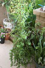 Elephant Bush Spekboom Portulacaria Afra Plant Succulent (2) Fresh Stem Cutting