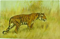 .SUPERB STEHLI FRERES ST Z. F. EARLY 1900'S TIGER POSTCARD NO 121