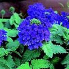 35+ VERBENA BLUE LAGOON PERENNIAL FLOWER SEEDS / DEER RESISTANT