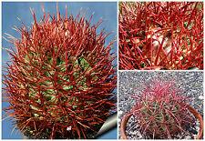 10 Samen der Echinocactus polycephalus,Sukkulenten,seeds succulents  G