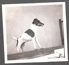 Vintage Photograph 1930 Smooth Hair Fox Terrier Dog Posing In Cage Mexico Photo