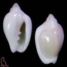 Marginella Austroginella muscaria, Australia, Marginellidae sea shell