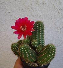 Rose Quartz Peanut Cactus Cluster-Chamaelobivia