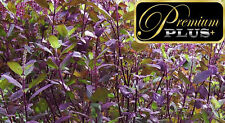 PREMIUM SEEDS WITH Red Basil Holy HERB RED HOLY BASIL 16,000 Seeds + Gift Bag
