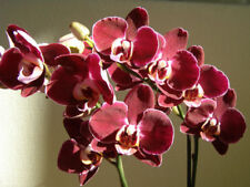 Red Orchid Phalaenopsis 100 Seeds Fragrant Flower House Garden Plant Big Bloom