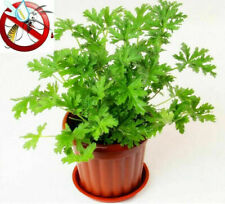 100 Citronella Brains Buster Grass Seeds Repellent Plant No Mosquitoes in Home