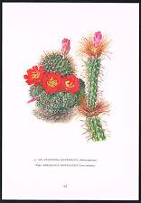 1960s Vintage Aylostera Kupperiana Arrojadoa Cactus Flower Botanical Art Print