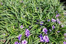 Live Ruellia Brittoniana Blue Bell Compacta Tropical Marginal Aquatic Pond Plant