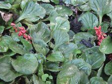 Gunnera cordifolia - Tasmanian Mudleaf 5 seeds