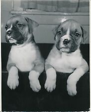 BOXER c. 1950 - Chiens Chiots  Grand Format - CH 67