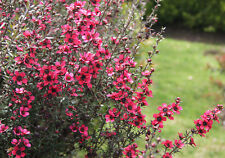 LEPTOSPERMUM SCOPARIUM 500 seeds Manuka Honey tea tree flowering shrub