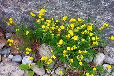 OENOTHERA MINIMA TINY EVENING PRIMROSE SPECIES SATIN YELLOW FLOWERS 50 SEEDS