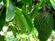 20 Soursop tree Seeds Annona muricata Guanabano Graviola  NOT FOR WA OR TAS