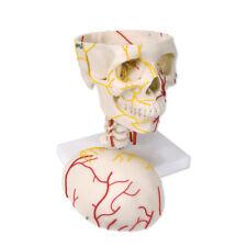 ESP Neurovascular Skull Anatomical Model Anatomy ZJY-380-G 3B Scientific W19018