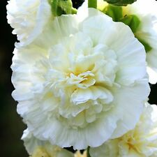 15 Samen weiß gefüllte Stockrose - Alcea rosea - Malve - winterhart - Hollyhock
