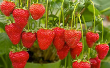 STRAWBERRIES-DELICIOUS-RED 10 FINEST SEEDS-Liveseeds