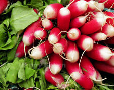 RADISH - FRENCH BREAKFAST - 2000 SEEDS - VERY CRISPY