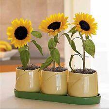 Flower Potted Dwarf Sunflower seed  20 seeds Helianthus Annus Annual herb Bonsai