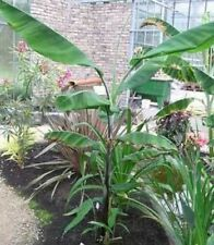 BANANA - Musa cheesmanii Cold Hardy 10 seeds