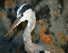 Stuffed European gray heron Taxidermy Standing Mount