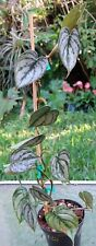 "Philodendron Brandtianum Silver Leaf Plant 4"" Pot 17"" Long 2""-3"" Leaves"