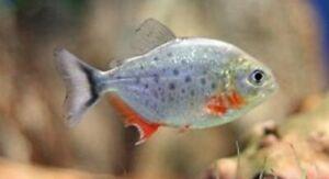 3 Red Belly Piranha Fry Babies Live Freshwater Aquarium Fish