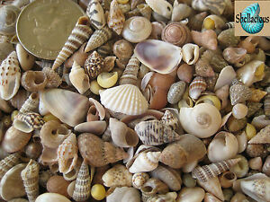 "300+ INDIAN OCEAN MIX OF TINY SEA SHELLS -5/8"" & Under - 1/3 Cup"
