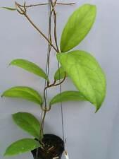 Hoya vitellinoides [B29J1],1 pot rooted plant20-22 inchesUnique!