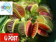 100 X VENUS FLY TRAP / DIONAEA MUSCIPULA CARNIVOROUS SEEDS
