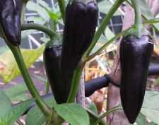 CHILLI 'Hungarian Black' 50+ Seeds HEIRLOOM **Mild Hot** PURPLE VINE