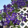 100stk Clematis Samen Lila Blumen Kletterpflanze Rankepflanze Sichtschutz! V4P7