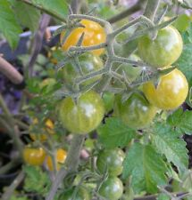 White Currant Heirloom Tomato Seeds