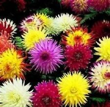Dahlia - Cactus Hybrids Mixed - 25 Seeds