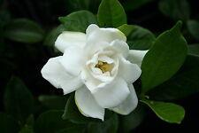 Gardenia jasminoides Chuck Hayes Cold Hardy 1 Plant