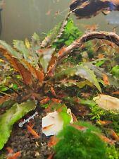 30 Live Red Cherry Shrimps