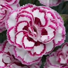 Dianthus Seeds 'Grans Favourite' Pinks Perennial Garden Plants Big Double Flower