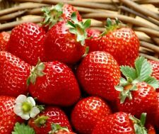 Organic  Strawberry Strawberries FRAGARI Berry Seeds (10 seeds)  R-025