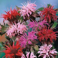 50+ MONARDA BEE BALM MIX FLOWER SEEDS / PERENNIAL / EASY TO GROW