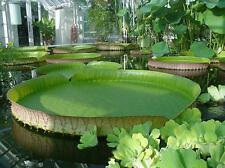 10 Seeds Victoria Amazonica Giant Waterlily, Rare Giant Aquatic Plant