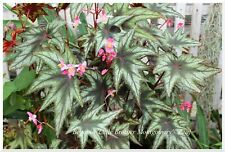 Begonia Little Brother Montgomery - 1 plant