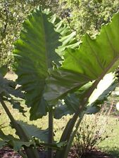 Portora Upright Giant Elephant Ear Live Plant Cold Hardy Tropical