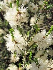 Melaleuca cucullata in 50mm forestry tube native plant