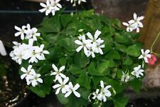 1-BULB OXALIS GREEN SHAMROCK WHITE FLOWERS Shade Plant House Plant