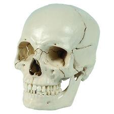 Rüdiger Anatomie Steck-Schädel, 18-teilig (A229)