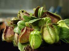 Cephalotus follicularis   carnivorous plants seeds   3s