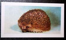 PET HEDGEHOG  Vintage Colour Photo Card  # VGC