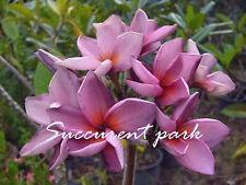 "PLUMERIA ""VIOLET JACK"" Fragrant Flower Frangipani 12""-18"" plant"